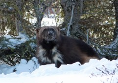 Wolverine wakeup call at Dymone Lake Ecolodge. Terry Elliott photo.