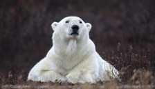 Regal polar bear. Nanuk Polar Bear Lodge. Sheree Jensen photo.