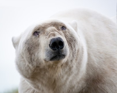 Wise old polar bear. Andrew Lasken photo.