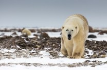 Polar bear warning. Great Ice Bear Adventure. Dymond Lake Ecolodge. Tania Watene photo.
