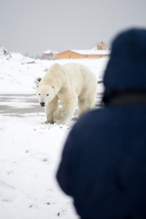 Polar bear meets guest at Seal River Heritage Lodge. Duncan Melbin photo.