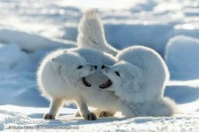Arctic foxes squabbling. Seal River Heritage Lodge. Charles Glatzer photo.