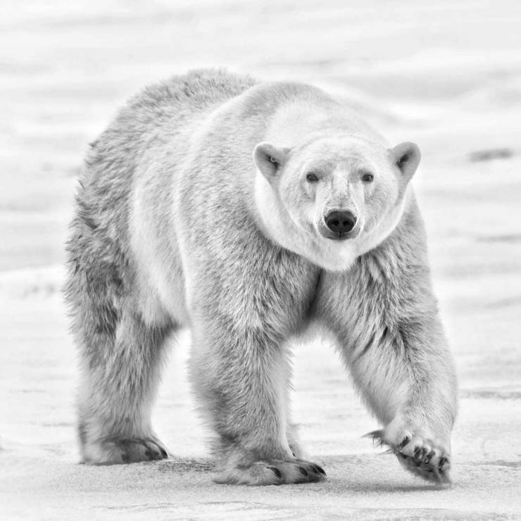 """The polar bear inched closer to us, catching our scents and curiously staring directly into our eyes..."" ~ Dax Justin"