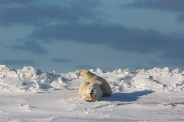 Polar bears playing at Nanuk Polar Bear Lodge. Kathy Richardson photo.