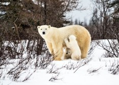 Polar bear Mom and cubs. Nanuk Polar Bear Lodge. Virginia Huang photo.