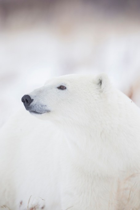 Beautiful polar bear thinking at Seal River Heritage Lodge. Ruth Elwell-Steck photo.