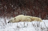 Nap time for Mom and cub at Dymond Lake Ecolodge. Photo courtesy of Stephanie Reinhart and Mark Jockel.