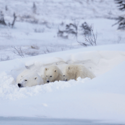 Mom and cubs resting. Great Ice Bear Adventure. Dymond Lake Ecolodge. Eduard Planting photo.