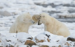 Polar bear friends. Seal River Heritage Lodge. Charles Glatzer photo.