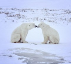 Polar bear friends. Dymond Lake Ecolodge. Tammy Donly photo.