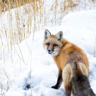 Red fox. Seal River Heritage Lodge. Chase Teron photo.