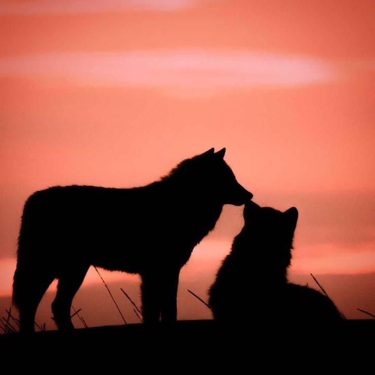 Romantic wolves share a kiss at Nanuk Polar Bear Lodge. Jad Davenport photo.