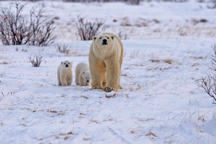Heading for the sea ice. Nanuk Polar Bear Lodge. Josh Robson photo.