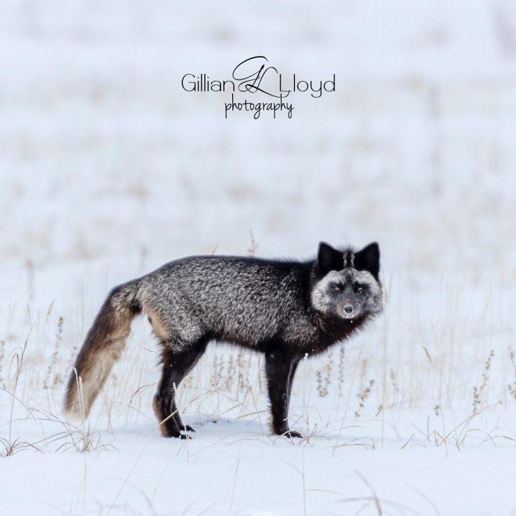 Arctic fox at Nanuk. Gillian Lloyd photo.