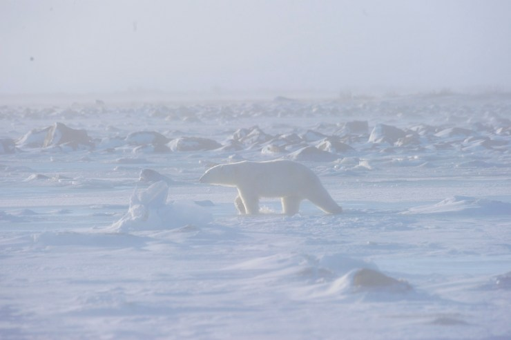 A polar bear crossing the tundra during a snowstorm
