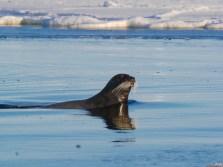 Bearded seal in western Hudson Bay near Seal River Heritage Lodge