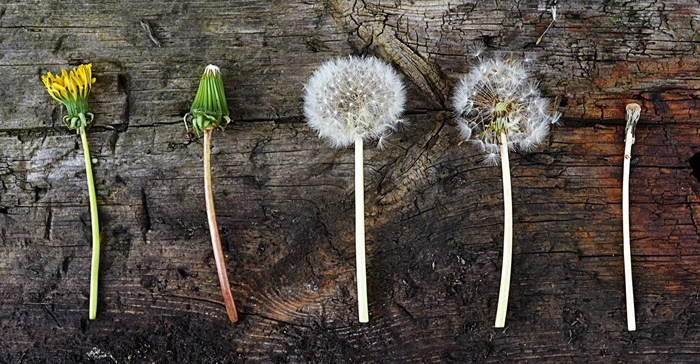 dandelion stages from flower bud to flower to dandelion seed to bare stem