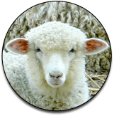 Christian-Sheep
