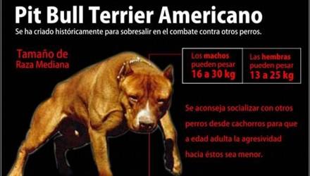 pitbull americano