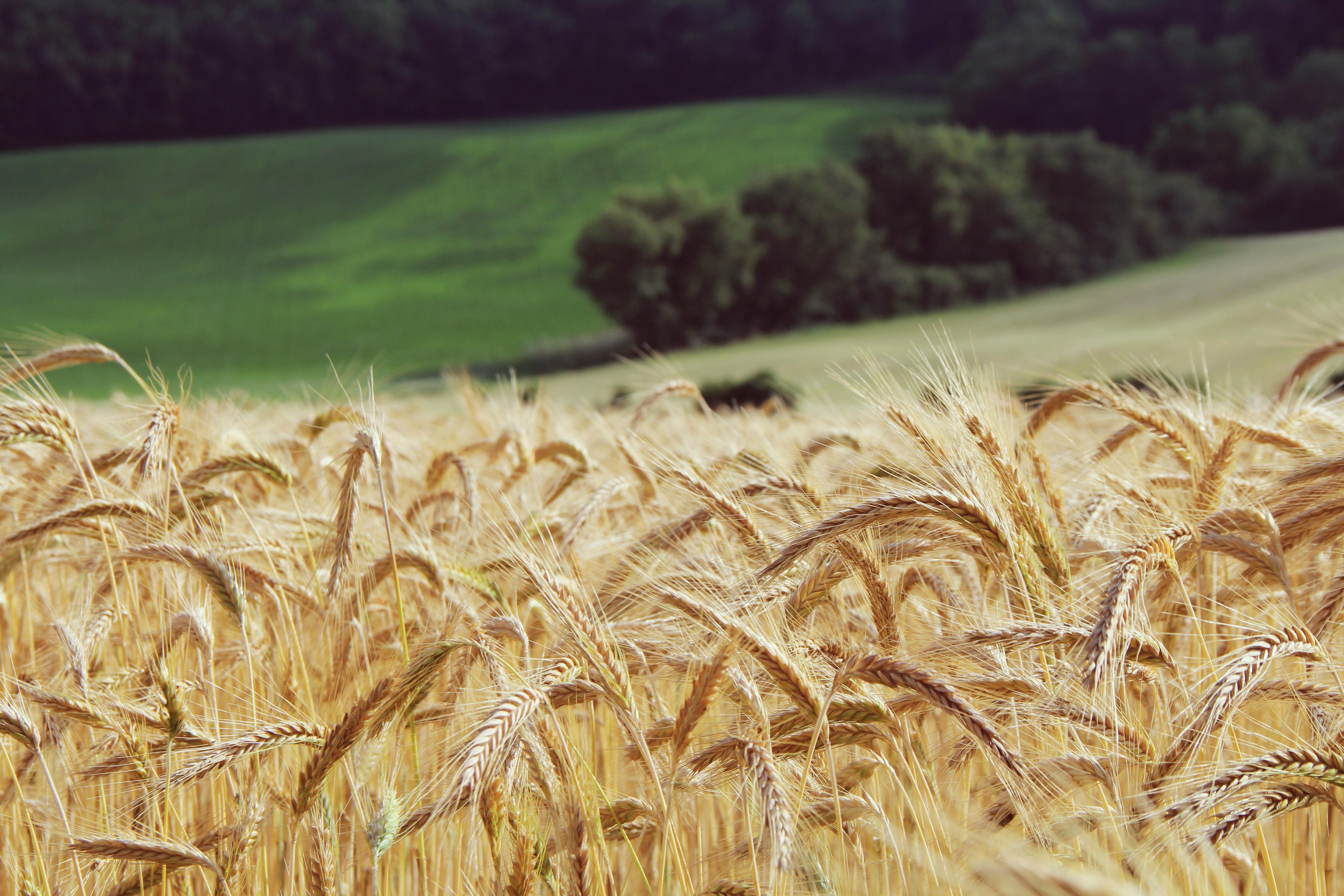 Obilniny – Všeobecne o obilninách