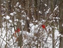 Hai chàng cardinals