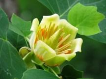 hoa của tulip tree