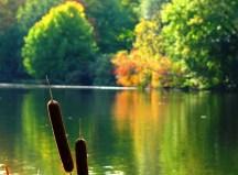 cỏ đuôi mèo bên hồ thu