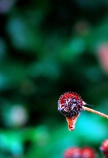 cúc đỏ khô