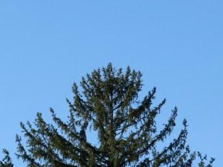 Không biết tên, có lẽ là cedar hay black pruce