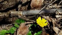 Cúc dại, chắc thuộc họ aster chứ không phải dandelion. Hoa có cánh dày, rất bóng, chiếu sáng dưới ánh mặt trời thọat nhìn tưởng là hoa giả bằng nhựa.