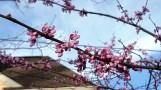 Eastern redbuds