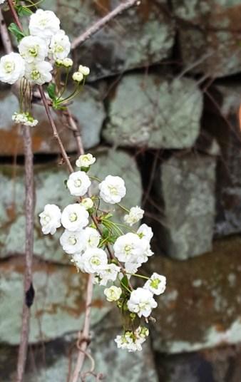 hoa nút áo ở sát bờ tường nhà bên cạnh thư viện