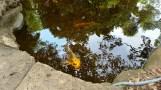 Cá koi trong hồ