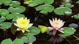 Hoa súng (water lilly) vàng và hồng