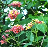 hoa trâm ổi mọc dọc theo bờ rào