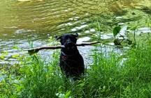 Anh cún này thật là giỏi và chìu lòng chủ. Chủ ném gậy ra giữa hồ anh tha vào, chủ lấy gậy ra khen anh giỏi, xong ném tiếp vào hồ. Thấy thương quá.