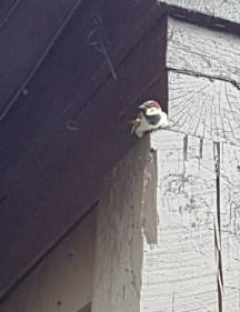 Chim sẻ làm tổ gần mái nhà. Chim làm tổ ở mái nhà này có lẽ nhiều lắm bay ra bay vào kêu ríu rít um sùm.