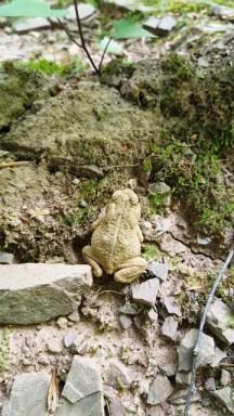 Đây là con nhái tôi gặp ở một đoạn rừng khác. Nơi đó rất xa nguồn nước chẳng hiểu sao lại có nhái.