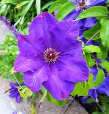 Clematis, hoa này chụp ở ngoài sân của thư viên Bridgewater