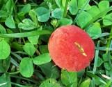 nấm đỏ