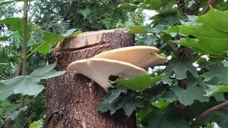 Bên hông nhà có cây bị cưa, trên cây mọc hai cái nấm thật to