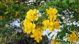Hoa vàng trước ngõ
