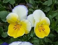 hai hoa