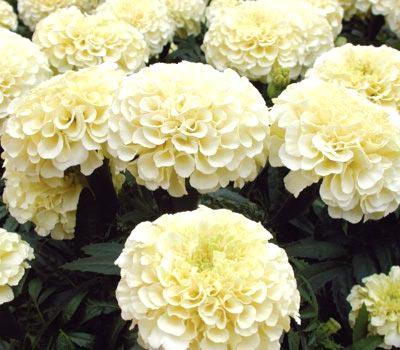 Цветы бархатцы. Виды и сорта бархатцев