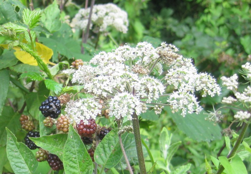 chyan herbal medicine health complementary therapies foraging