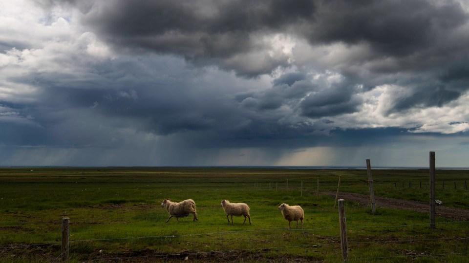 Summer lambs, Iceland