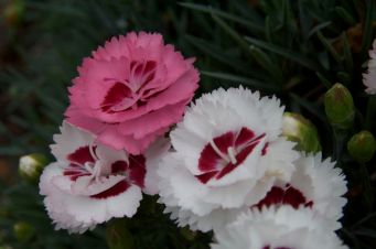 Dianthus with sweet scents