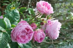Old shrub rose in hedgerow