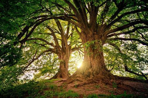 Cibakháza fája