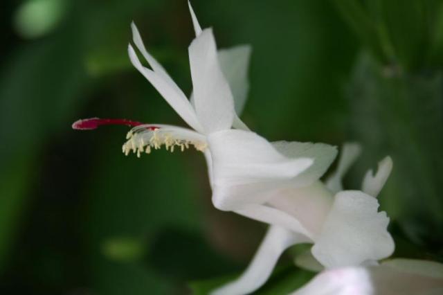 Schlumbergera truncata 'Malissa'